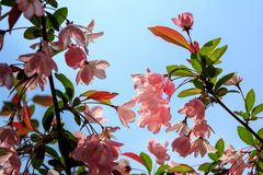 Hall-crabapple Blume stockbild
