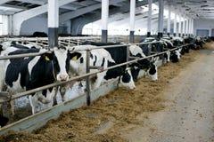 Hall doju krowy na nabiału gospodarstwie rolnym fotografia stock