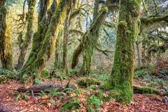 Hoh Rainforest at Olympic national Park, Washington, USA Royalty Free Stock Photography