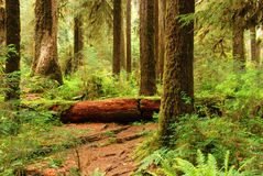 Hall of Mosses in Olympic National Park Stock Photos