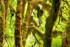 Hall of Mosses in Olympic National Park Stock Image