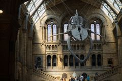 The skeleton of a blue whale in Natural history museum, London, August 2018. This is the hall of the Natural history museum of London stock image