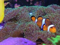 Hallazgo Nemo en un acuario real que pone en un coral de seta Imagen de archivo libre de regalías