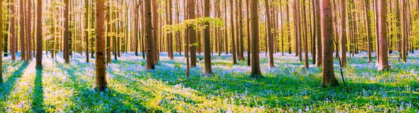 Free Hallerboos, The Blue Forest Royalty Free Stock Photos - 184413658