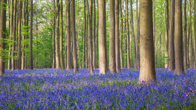 Hallerbos会开蓝色钟形花的草木头  免版税图库摄影