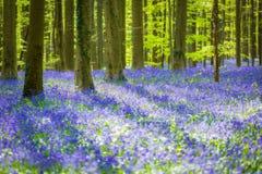 Hallerbos会开蓝色钟形花的草森林,比利时 库存图片