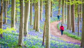 Hallerbos会开蓝色钟形花的草森林,比利时 图库摄影