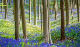 Hallerbos会开蓝色钟形花的草森林,比利时 免版税库存照片