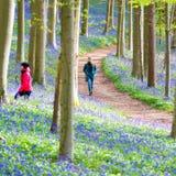 Hallerbos会开蓝色钟形花的草森林,比利时 库存照片