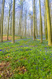 Hallerbos比利时会开蓝色钟形花的草 库存照片