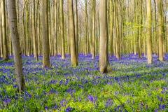 Hallerbos比利时会开蓝色钟形花的草 库存图片