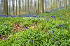 Hallerbos Βέλγιο Bluebells Στοκ Εικόνες