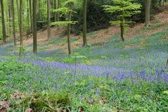 Hallerbos :风信花在森林里 库存图片