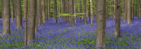 Hallerbos Royalty Free Stock Photos