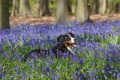 伯尔尼的山狗和会开蓝色钟形花的草在Hallerbos森林 免版税库存照片