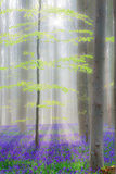 Hallerbos beech forest with bluebells Royalty Free Stock Photography