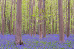 Hallerbos. Beech forest covered with bluebells stock image