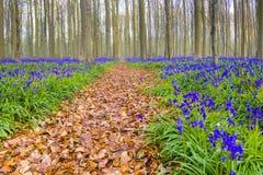 Hallerbos Belgien blåklockor Fotografering för Bildbyråer