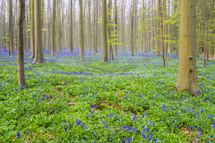 Hallerbos Belgien blåklockor Arkivbilder