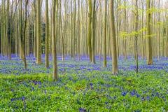 Hallerbos Belgien blåklockor Royaltyfri Bild