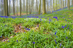 Hallerbos Belgien blåklockor Arkivfoto