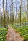 Hallerbos Belgien blåklockor Royaltyfria Bilder