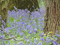 Hallerbos Belgium, the forest with blue hyacinths royalty free stock photos
