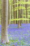 Hallerbos blåklockor skog, Belgien Royaltyfria Bilder