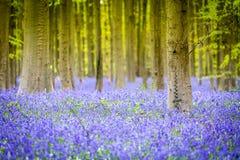 Hallerbos blåklockor skog, Belgien Arkivbild