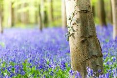 Hallerbos blåklockor skog, Belgien Arkivfoton