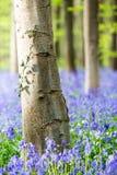 Hallerbos blåklockor skog, Belgien Arkivbilder