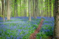 Hallerbos blåklockor skog, Belgien Royaltyfri Bild