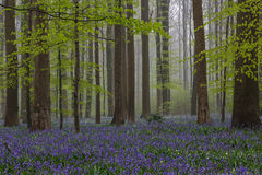 Hallerbos Royalty Free Stock Photography