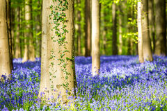 Hallerbos Bluebells Forest, Belgium. Royalty Free Stock Images