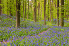 Hallerbos Stock Photography
