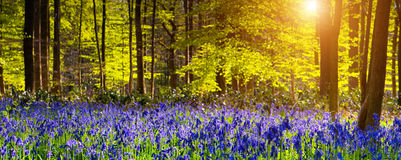 Hallerbos Royalty Free Stock Images