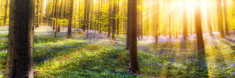 Hallerbos Forest Royalty Free Stock Photos