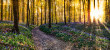 Hallerbos Forest Stock Image