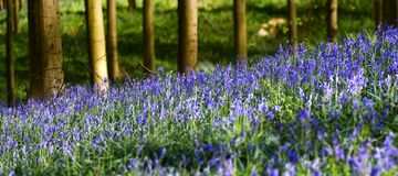 Hallerbos Hyacinths. Patch of bluebells in the woods Stock Photography