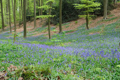 Hallerbos: wildhyacinths in the forest Stock Images