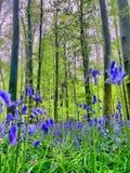 Hallerbos in primavera Fotografia Stock Libera da Diritti