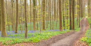 Hallerbos skog i Belgien Arkivfoton