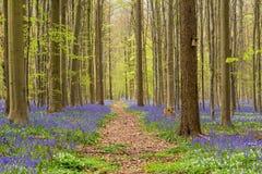 Hallerbos skog på våren med engelska blåklockor Arkivfoto