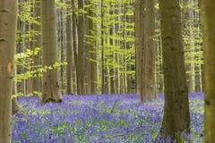 Hallerbos skog på våren med engelska buebells Royaltyfri Fotografi