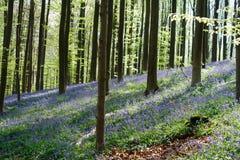 Hallerbos skog på våren med engelska buebells och träd med nya gröna sidor Arkivfoto