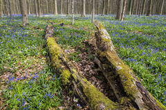 Hallerbos in Spring with Bluebell and dead Tree Royalty Free Stock Photo
