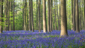 Hallerbos in Spring Royalty Free Stock Photography