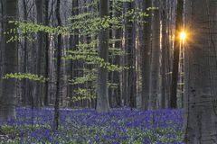 Hallerbos spring forest sunrise Royalty Free Stock Photography
