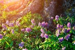 Halleri del Corydalis o solida floreciente del Corydalis debajo del árbol en el bosque Fotografía de archivo libre de regalías