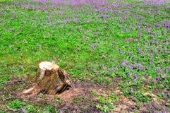 Halleri floreciente del Corydalis (solida del Corydalis) Fotos de archivo